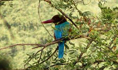 Koshi Tappu Bird Watching